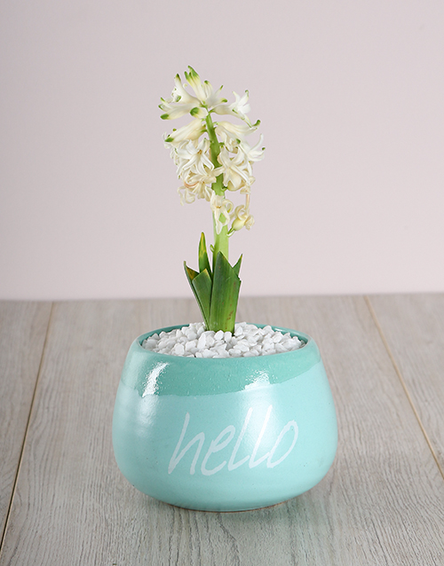 hyacinths: White Hyacinth in a Hello Pot!