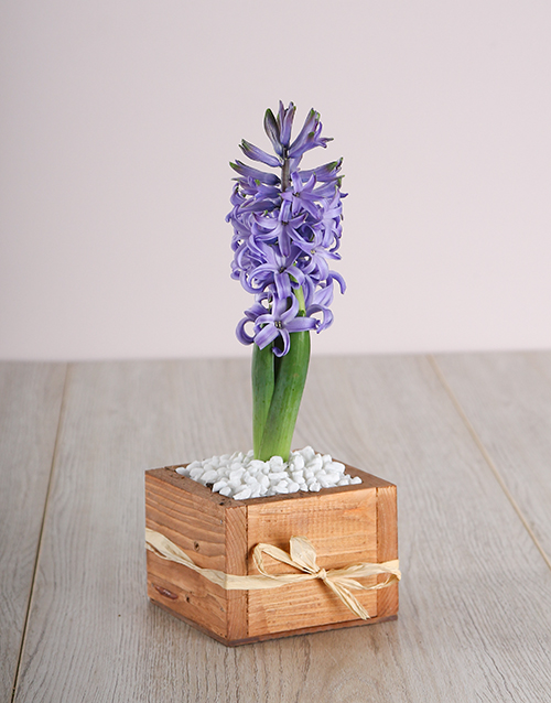 hyacinths: Blue Hyacinth in a Wooden Crate!