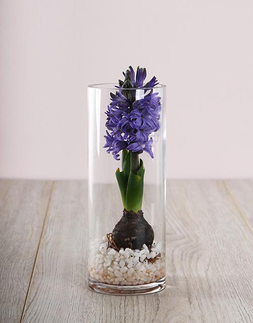 hyacinths: Purple Hyacinth Vase!