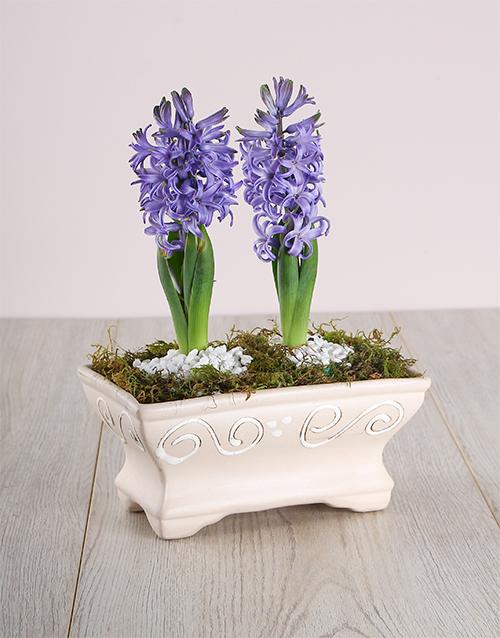 colour: Double Blue Hyacinths in Pot!