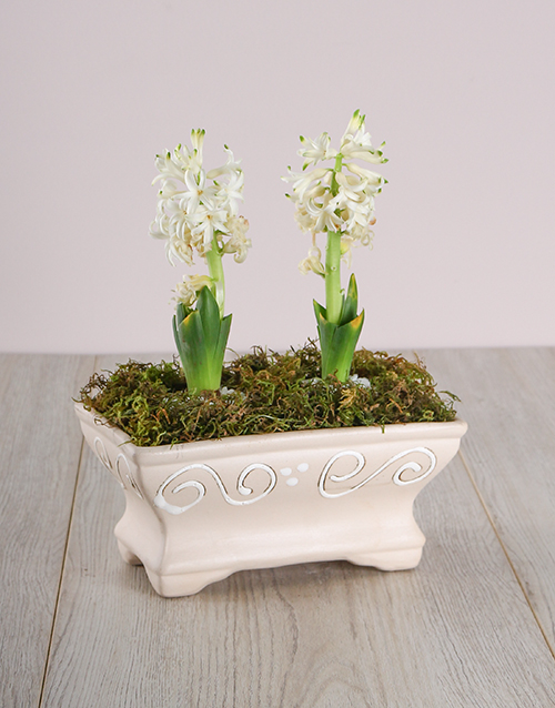 get-well: Double White Hyacinths in Pot!