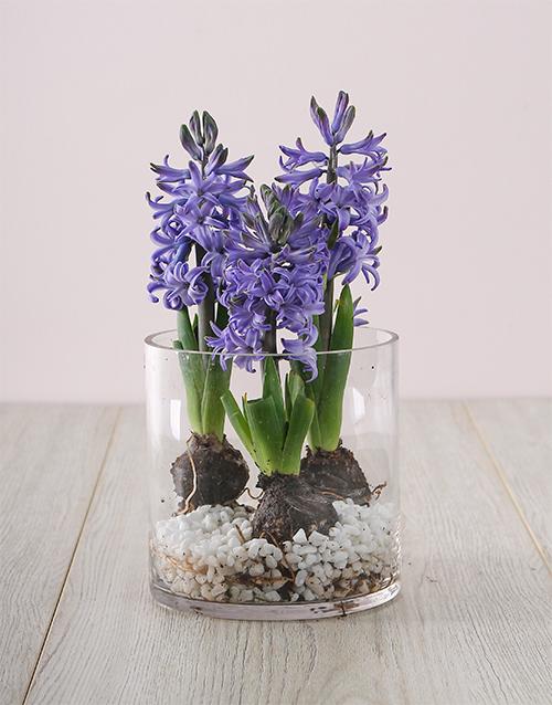 seasonal: 3 Blue Hyacinths in a Cylinder Vase!