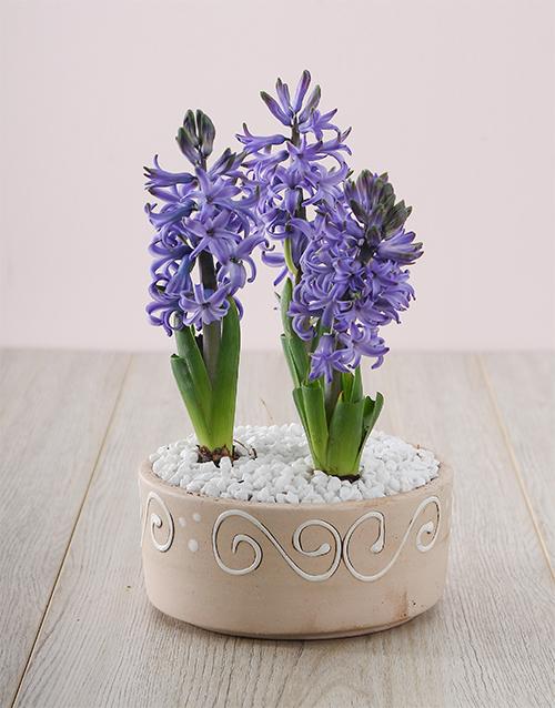 seasonal: 3 Blue Hyacinths in a Ceramic Pot!