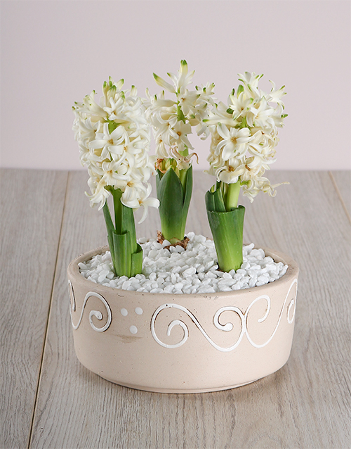 flowers: 3 Hycinths in a Ceramic pot!