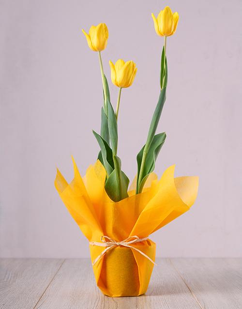 seasonal: Yellow Tulip Plant!