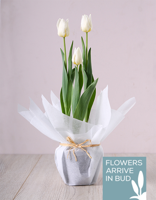 birthday: White Tulip Plant!
