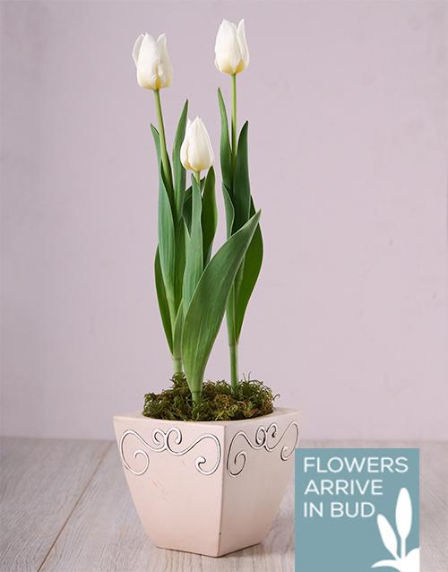 tulips: White Tulips in Ceramic Pot!