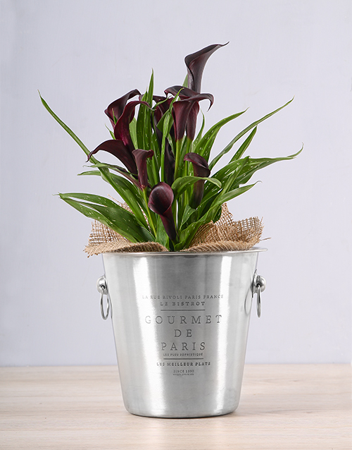 plants: Black Zantedeschia Ice Bucket!