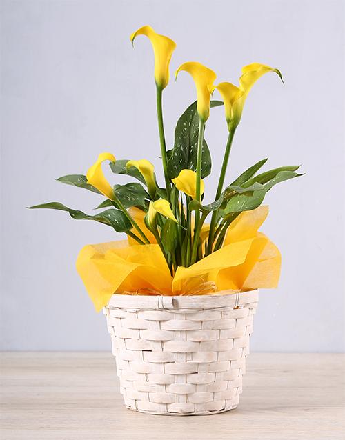 easter: Yellow Zantedeschia Basket!