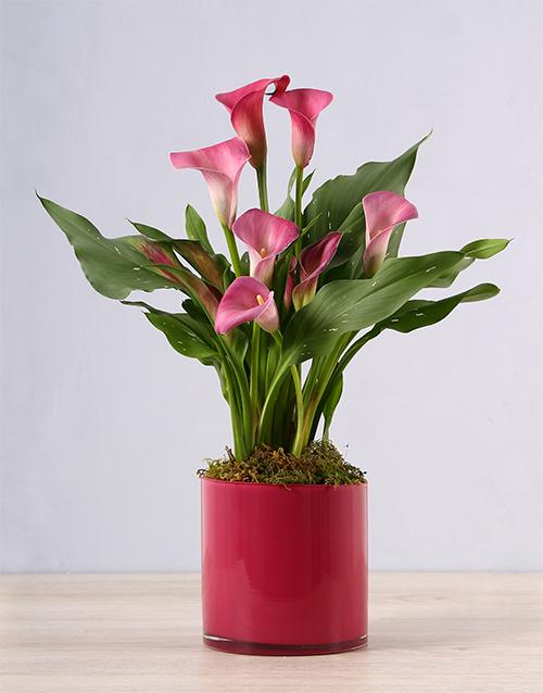 lilies: Pink Zantedeschia in Pink Vase!