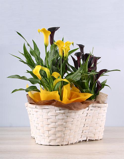 flowers: Fond Friendship Zantedeschia Basket!