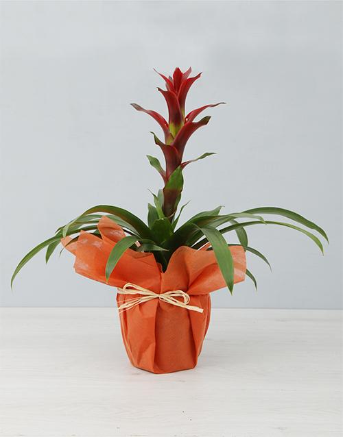 plants: Sunny Orange Guzmania Plant!
