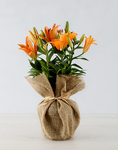 colour: Orange Asiatic Lily in Hessian Wrapping!