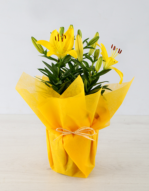 seasonal: Yellow Asiatic Lily in Yellow Wrapping!