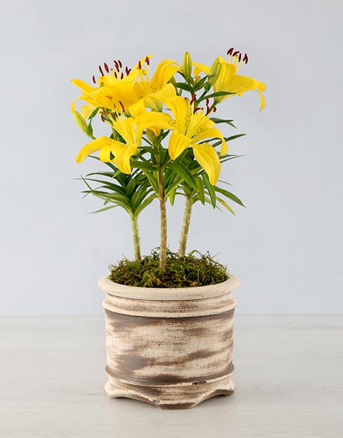 colour: Asiatic Lily in Round Ceramic Pot!