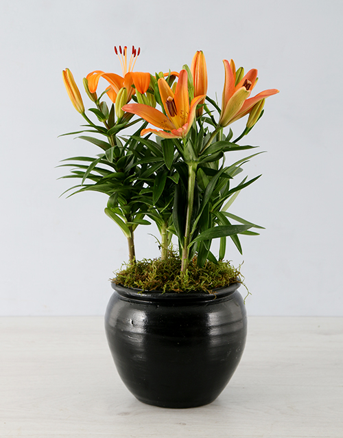 seasonal: Orange Lily in Black Pottery Container!