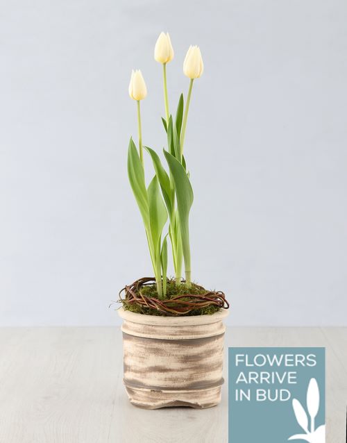 sympathy: White Tulip Plant in Ceramic Pot!