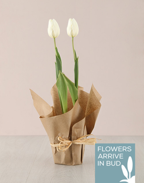 baby: White Tulip Plant in Craft Paper!