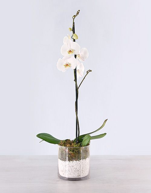 orchids: Phalaenopsis Orchid with Pebbles!