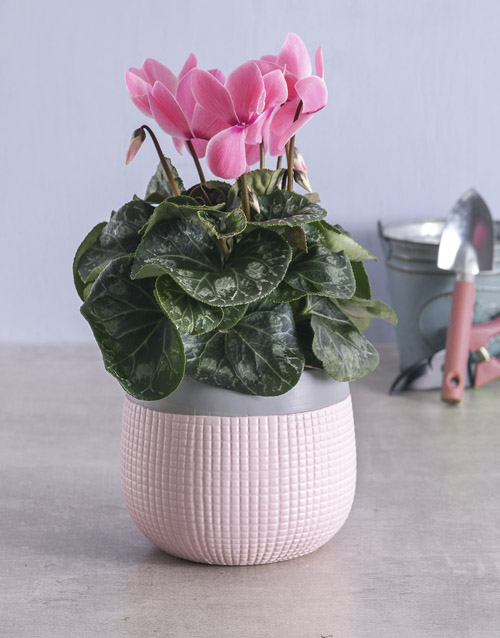cyclamen: Light Pink Cyclamen in Two Tone Pot!