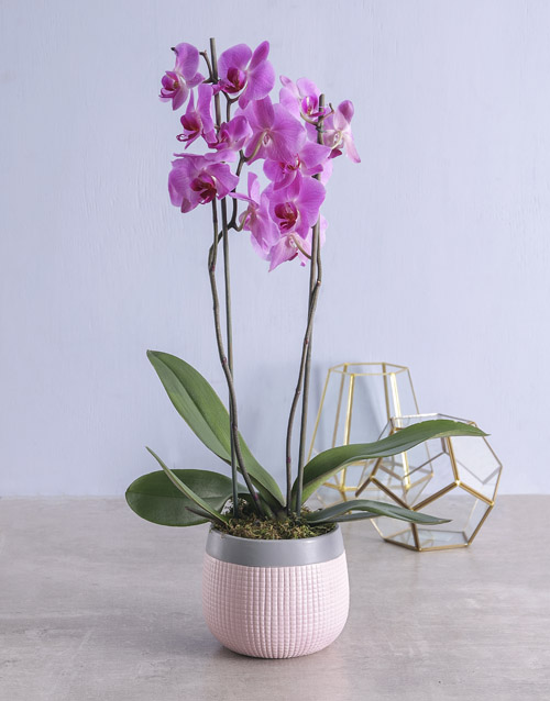 orchids:  Pink Phalaenopsis Orchid in Pot!