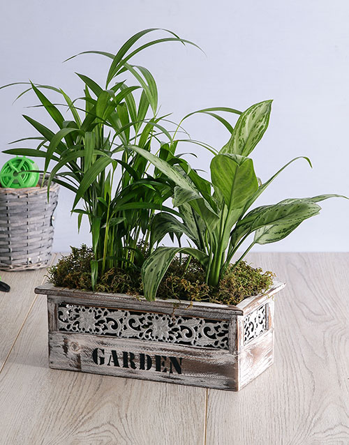 friendship: Areca Bamboo and Silver Queen in Wood Planter!