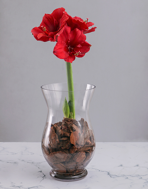 flowers: Amaryllis in Bark Chips!