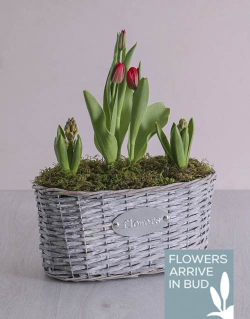 hyacinths:  Mediterranean Basket Planter!