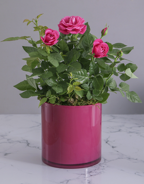 plants: Cerise Rose Bush in Cylinder Glass Planter!