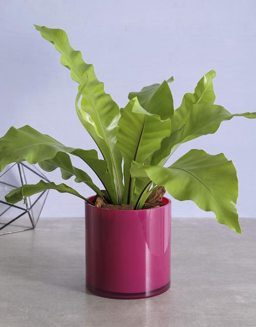 green: Asplenium Pink Pot Plant!