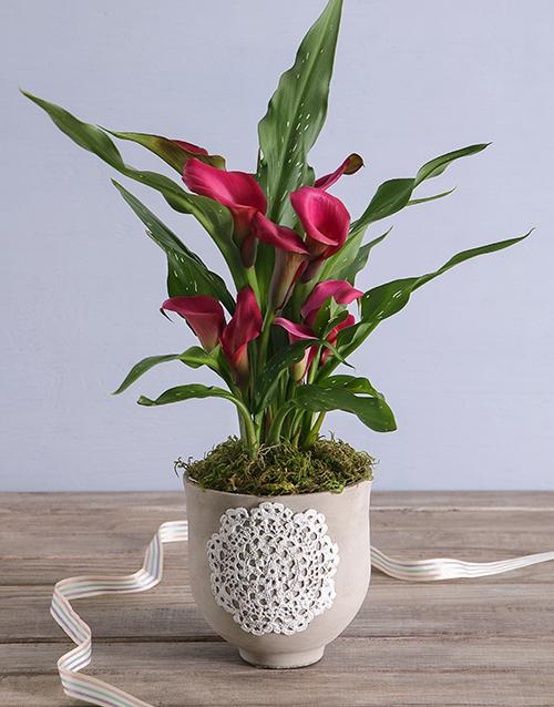 flowers: Zantedeschia In Doilie Embossed Cement Pot!