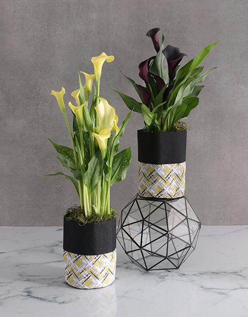 colour: Zantedeschia in Waterproof Fabric Pot!