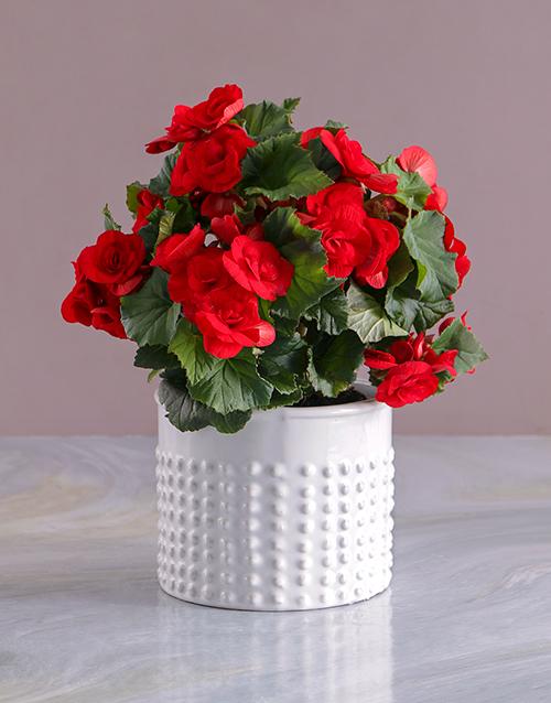 begonia: Graceful Begonia in White Vase!