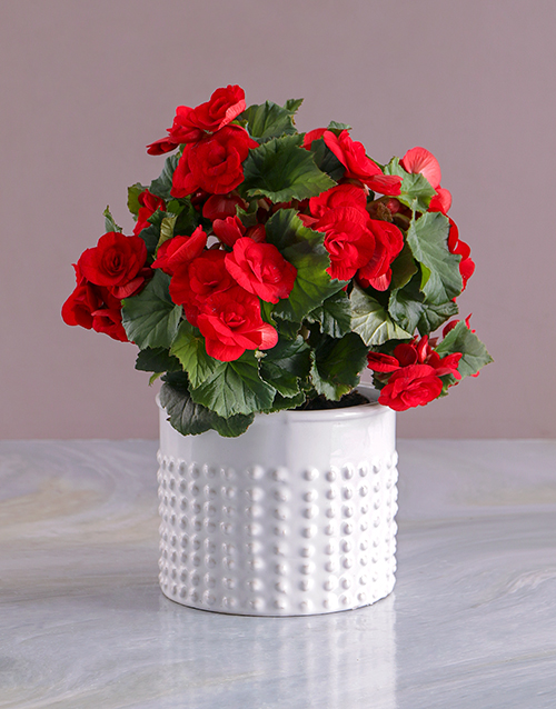 christmas: Graceful Begonia in White Vase!