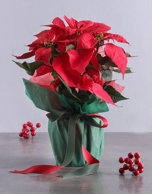christmas: Poinsettia in Green Wrapping!