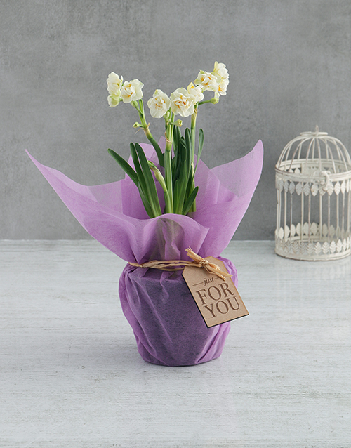 colour: White Daffodil Plants In Lilac Wrapping!