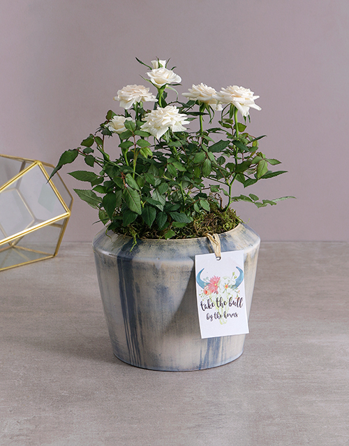 baby: White Rose Bush in Blue Washed Pot!