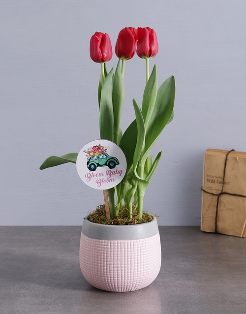 seasonal: Red Tulips in Pink and Grey Pot!