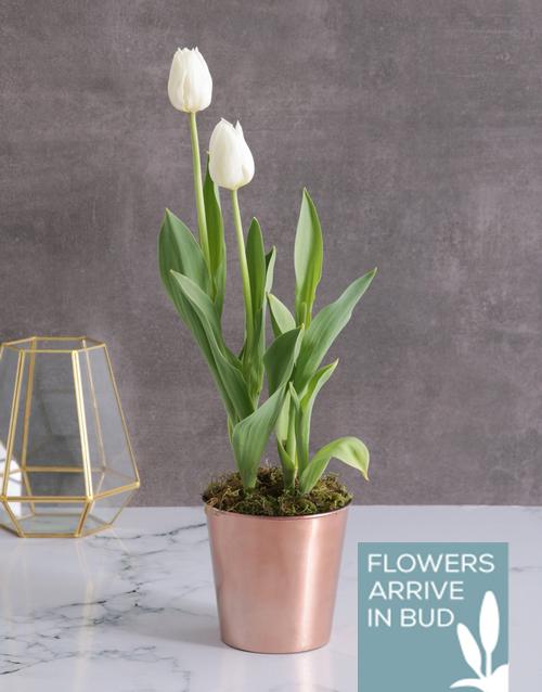 anniversary: White Tulips in Cleo Pot!