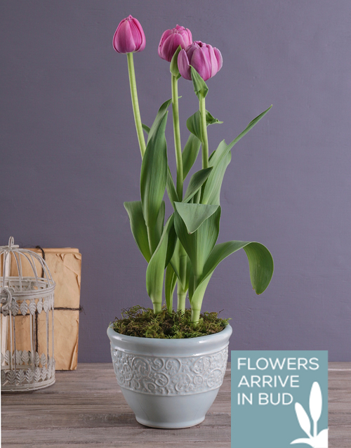 tulips: Lilac Tulips in a French Country Pot!