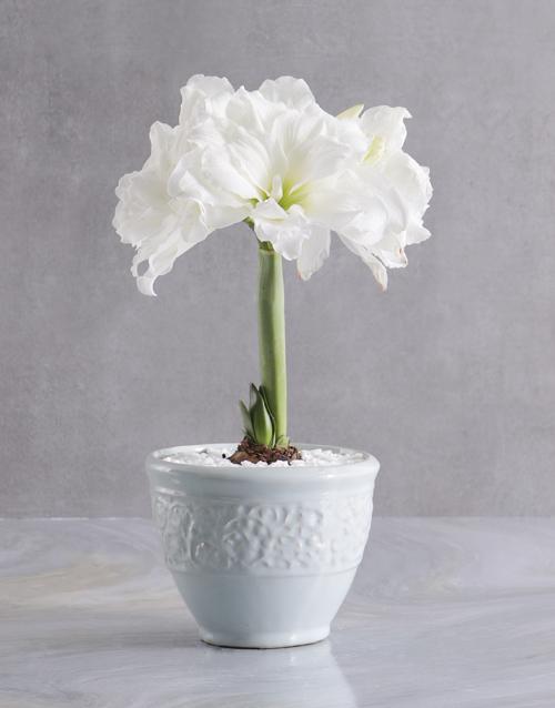 flowering: White Amaryllis Plant in Modern Ceramic Pot!