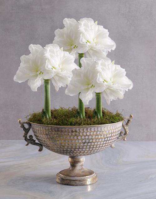 flowering: Amaryllis in Gold Chalice Bowl!