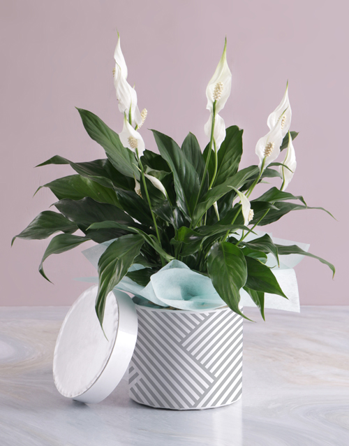 thank-you: Pretty Lily Plant In Hatbox!