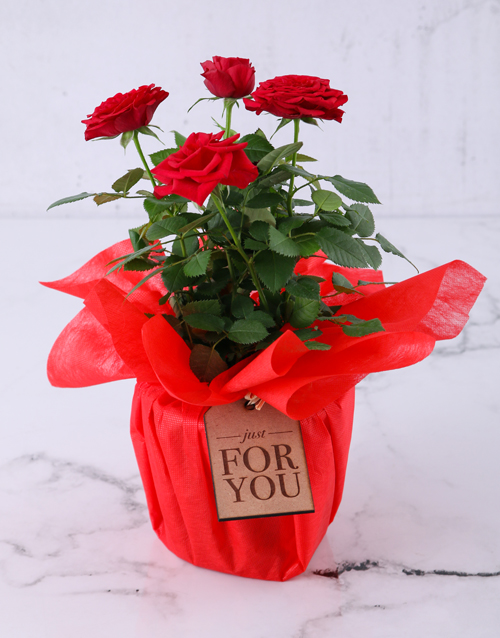 friendship: Red Rose Bush Just For You!