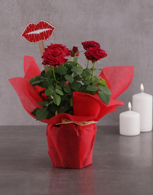 anniversary: Red Rose Bush Kisses!