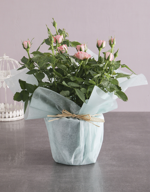 womens-day: Pink Rose Bush Wrapped In Mint!