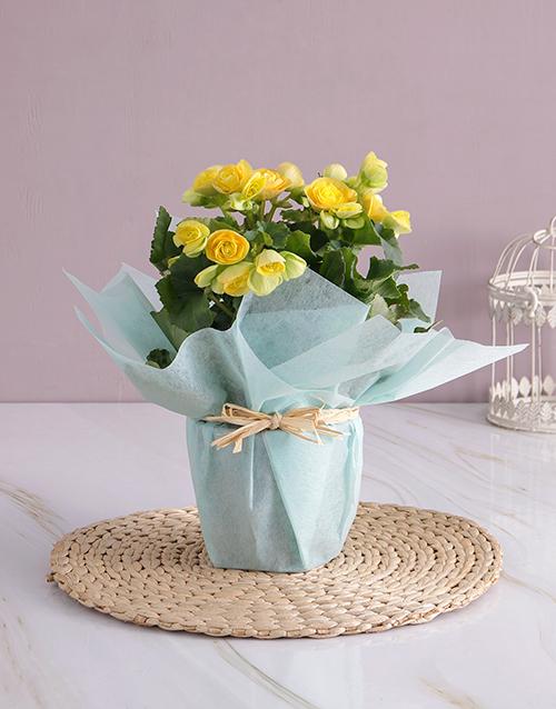 baby: Yellow Begonia Surprise!