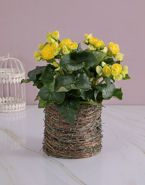 get-well: Yellow Begonia in Moss Basket!