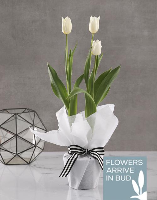 secretarys-day: Elegant White Tulip Plant!