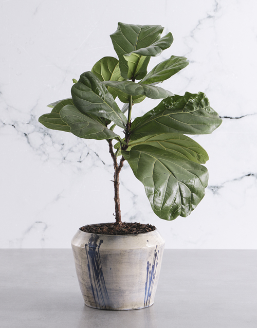 thank-you: Luscious Fiddle Fig!